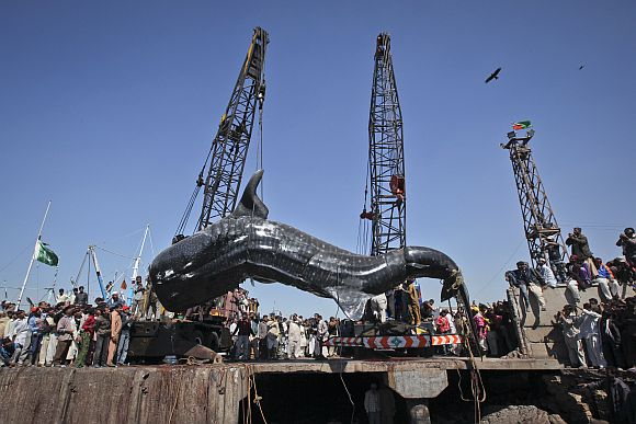 Residents gather as a whale shark is pulled from the water by cranes after it was found dead at Karachi's fish harbour