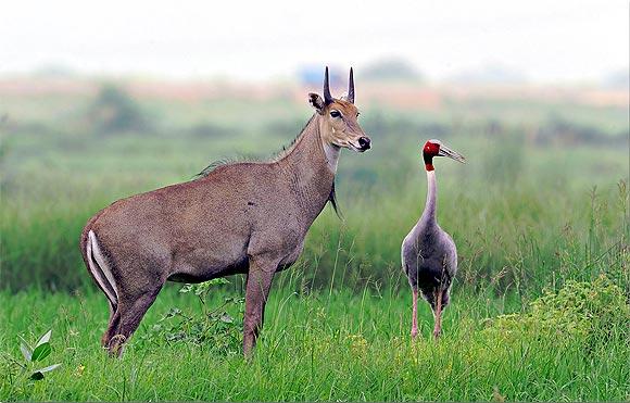 A Nilgai with a Sarus Crane
