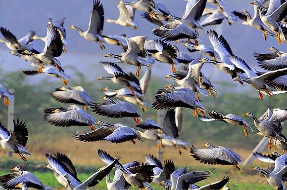 Bar-headed Goose Anser Indicus