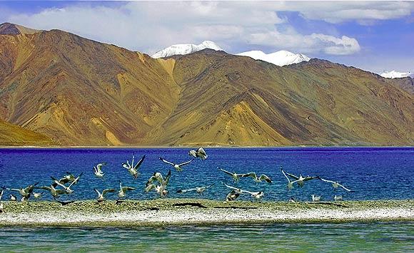 Brown-headed Gull Chroicocephalus brunnicephalus at Pongong Lake, Ladakh
