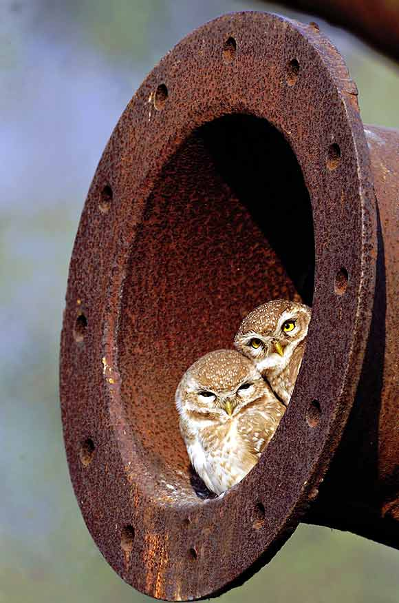 Framed spotted owlet basking in the sun