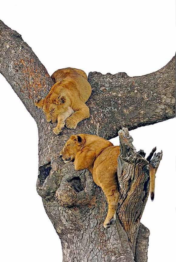 Lion cubs at Serengeti National Park