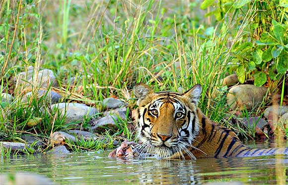 A tiger with its kill at Jim Corbett National Park