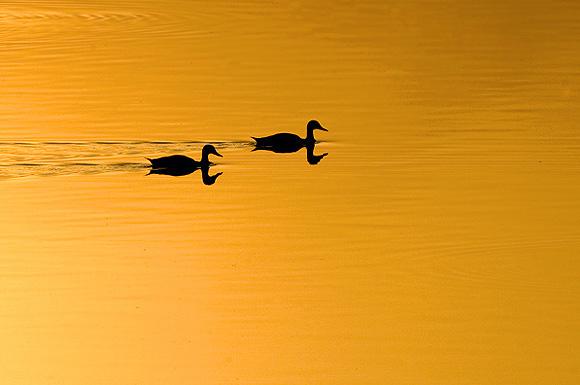 Spot bill Ducks at Okhla Bird Sanctury