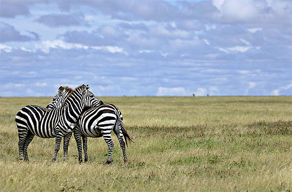 Zebras at the Serengeti National Park