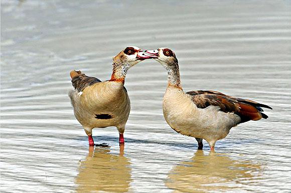 Egyptian Goose Alopochen Aegyptiacus