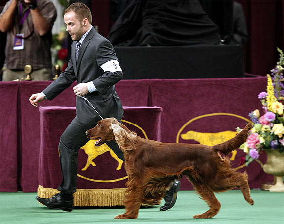 Shadagee Caught Red Handed, an Irish Setter, runs with dog handler Adam Bernadin