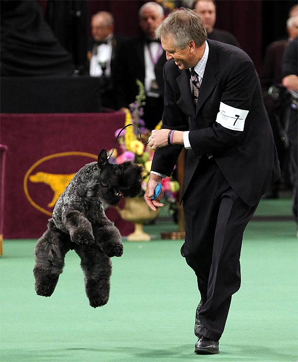 Kerry Blue Terrier Perrisblu Kennislain Chelsey celebrates with handler Bill McFadden after winning the Terrier Group