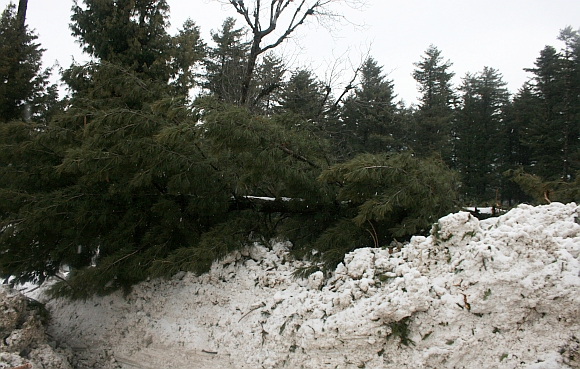 A damaged tree at Sonamarg road