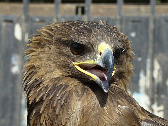 A hawk is pictured at al-Zawraa amusement park in Baghdad, in this 2009 photo