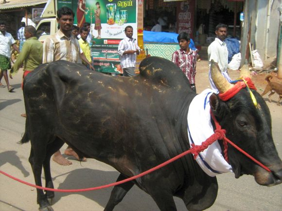 A bull being taken home after Jallikattu