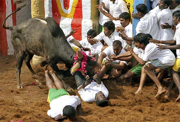 Villagers are pinned down by a bull during Jallikattu on the outskirts of Madurai
