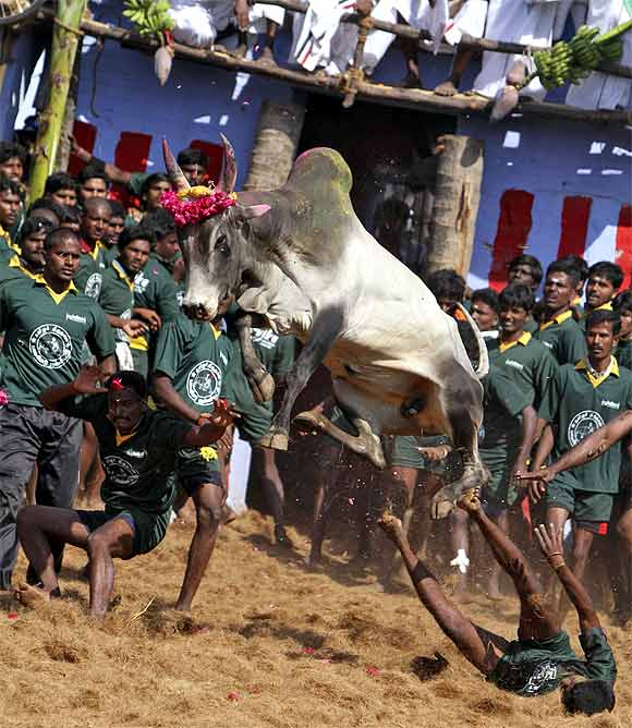 Villagers try to control a bull during Jallikattu on the outskirts of Madurai