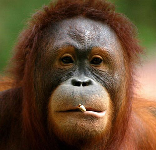 Tori, the smoking orang-utan, to kick the butt