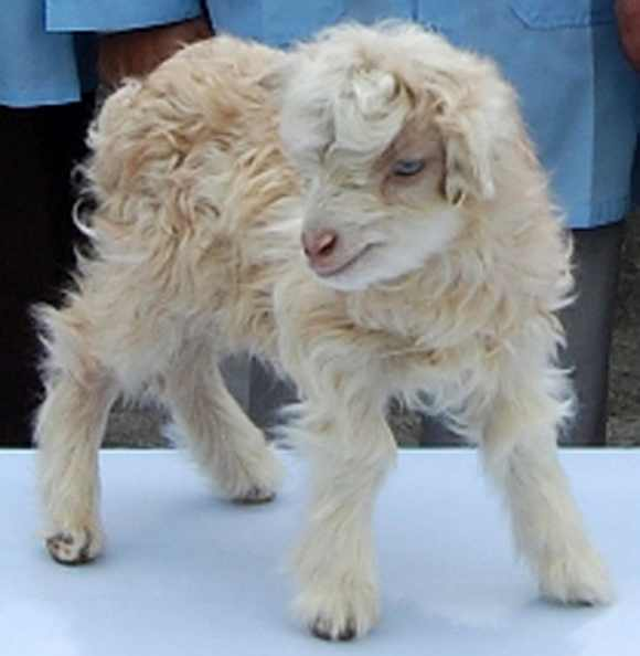 Kashmir scientists successfully cloned the world's first pashmina goat
