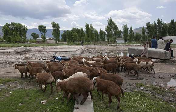 A boy guides his sheep past the demolished site of a compound of Osama bin Laden