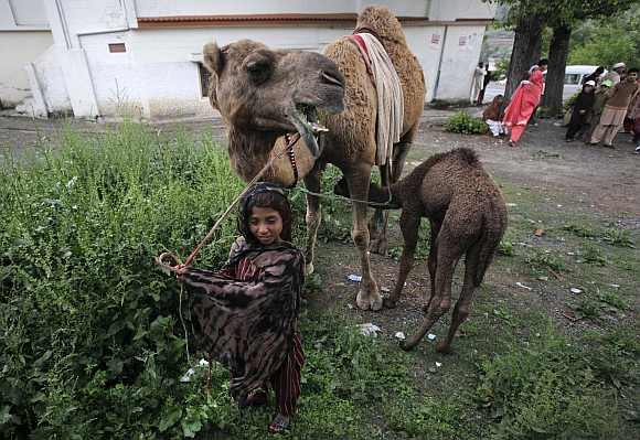 A girl takes care of her pet camels while travelling with her family in Abbottabad
