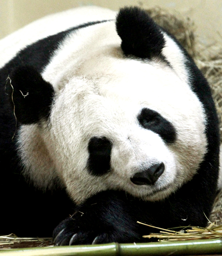 Tian Tian, a female giant panda, sleeps in her enclosure at Edinburgh Zoo in Scotland