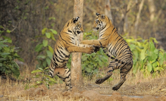 Tigers in the Tadoba-Andhari Reserve
