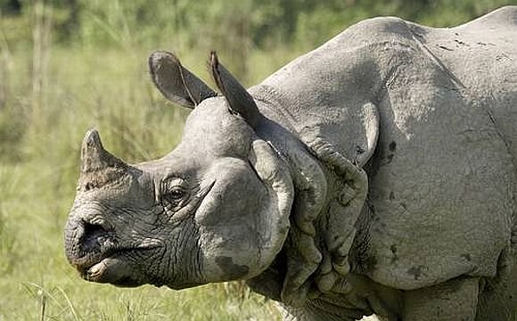 39 rhinos killed in 10 months in Kaziranga Park