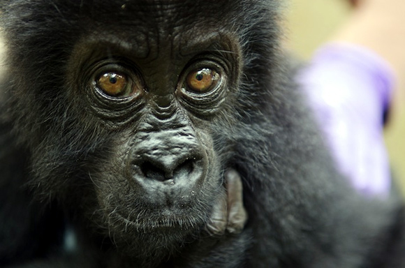Rare photos: Gorillas, lemurs on the brink of extinction
