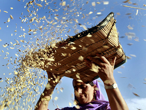 A Kashmiri farmer winnows paddy during harvesting season in Bhatpora on the outskirts of Srinagar