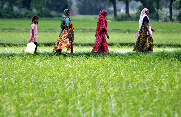 Indians walk through a paddy field in Bhat near Ahmedabad
