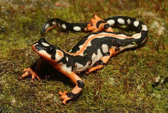 Luristan newt