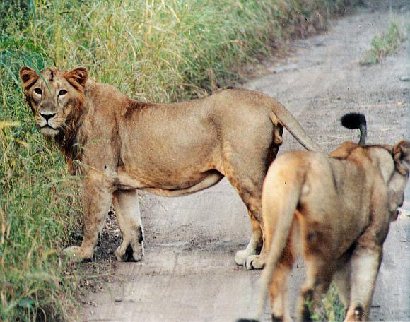 Gujarat's lions will go to Madhya Pradesh
