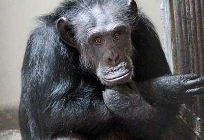 PHOTO: Chimpanzee walks free, creates panic in Hyd zoo - Rediff com