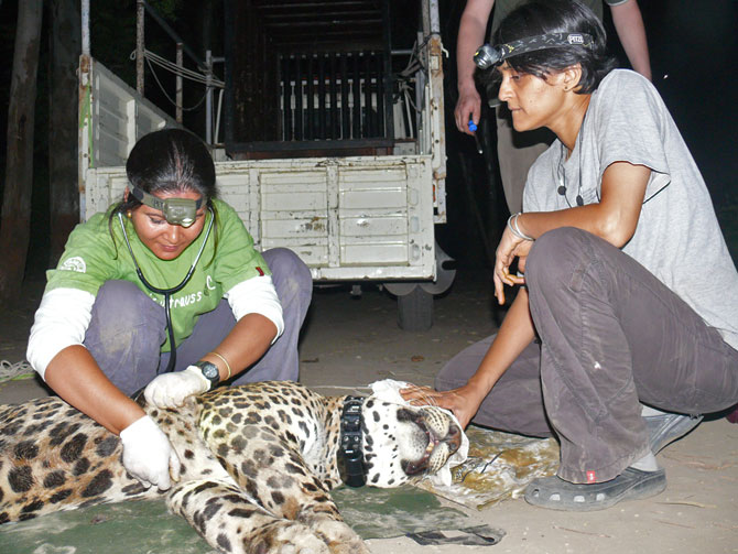 Vidya Athreya, right, and veterinarian Dr Karabi Deka after collaring Ajoba. Ajoba travelled through villages, towns and cities, but never attacked any human