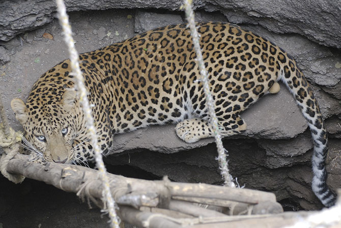 Ajoba in the well he fell into while chasing a dog -- a common occurrence -- in Ahmednagar, Maharashtra. If trapped leopards are just allowed to escape, attacks on humans are fewer, scientists like Vidya Athreya say.