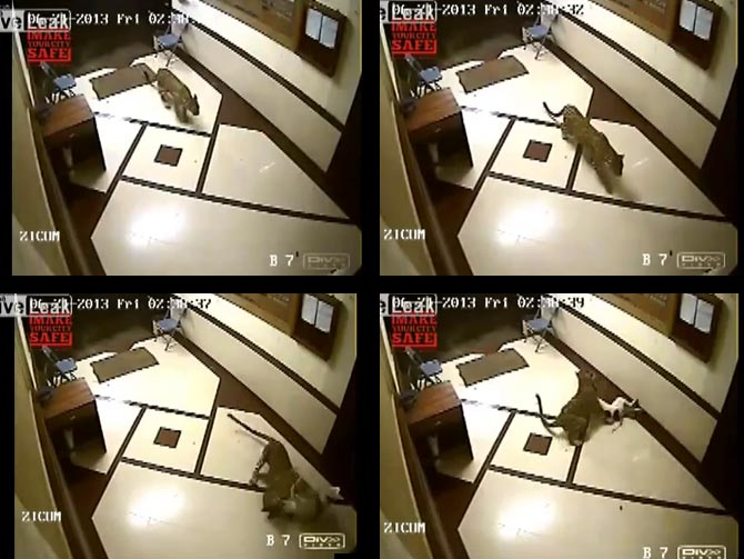 Video-grab of CCTV footage from a suburban Mumbai apartment. The leopard hunts a dog sleeping on the ground-floor staircase