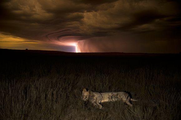 Lion by lightning