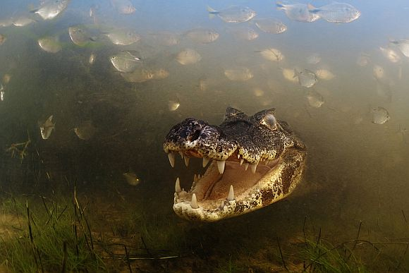 Into the mouth of the caiman