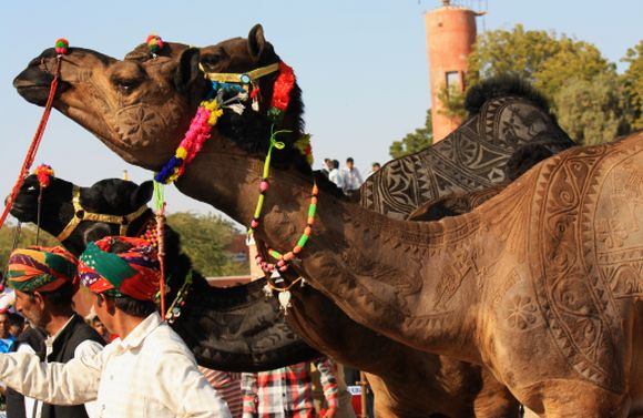 PHOTOS: Bikaner's camels get a buzz cut for festival