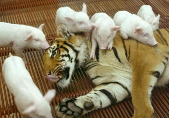 Amazing PIX! Rabbits have tiger cubs as playmates