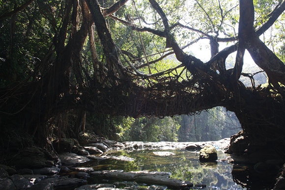 The famous bridge made of roots in neighbouring Riwai village.
