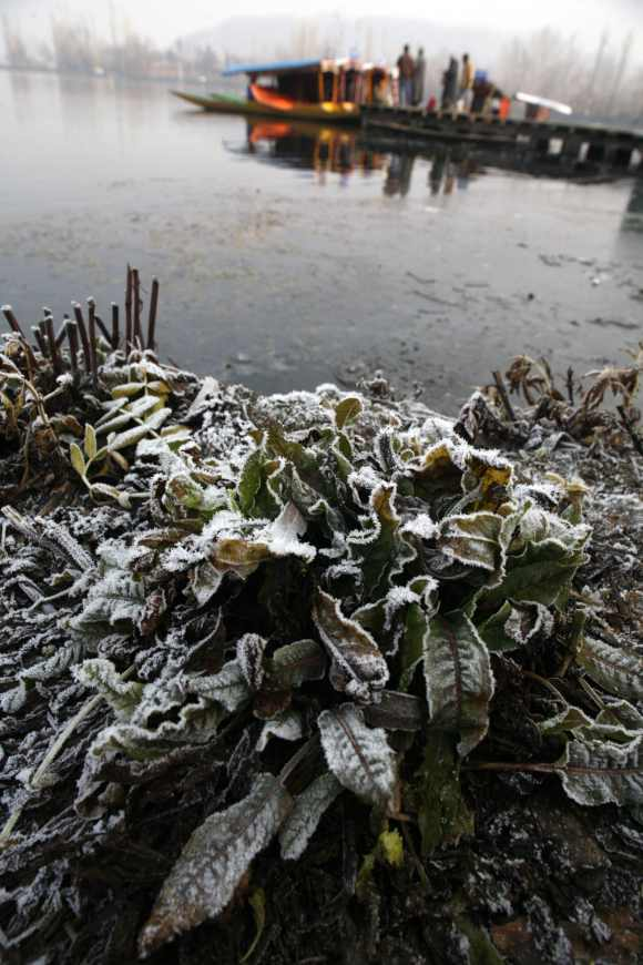 Plants on the banks of the Dal Lake are covered in frost