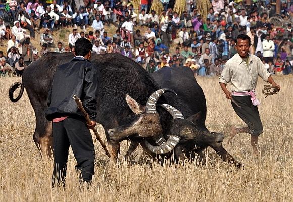 A pair of buffalos lock horns during a traditional buffalo fight on the occasion of Magh Bihu
