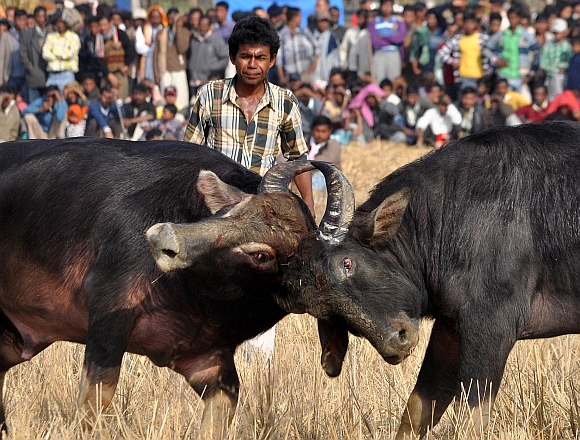 A bull handler looks on as a pair of buffalos lock horns during a traditional fight on at Ahotguri