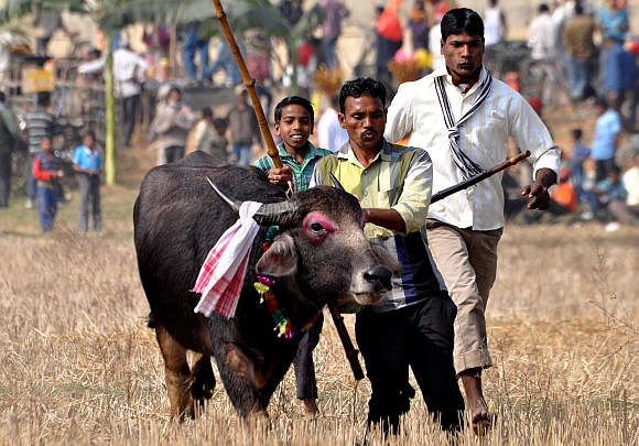 People lead a buffalo for the traditional buffalo fight competition as part of festivities of the Assamese Magh Bihu festival in Ahotguri