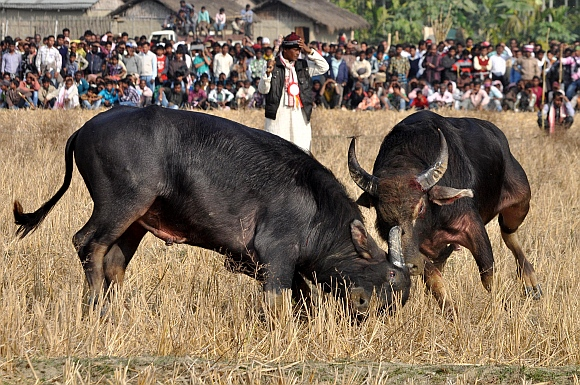 A pair of buffalos lock horns during a traditional buffalo fight