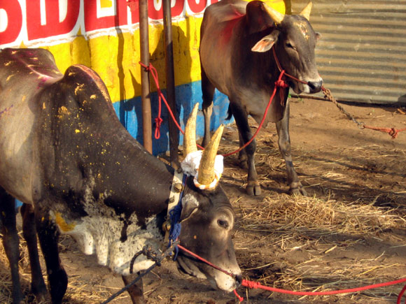Bulls wait for their turn near the local temple