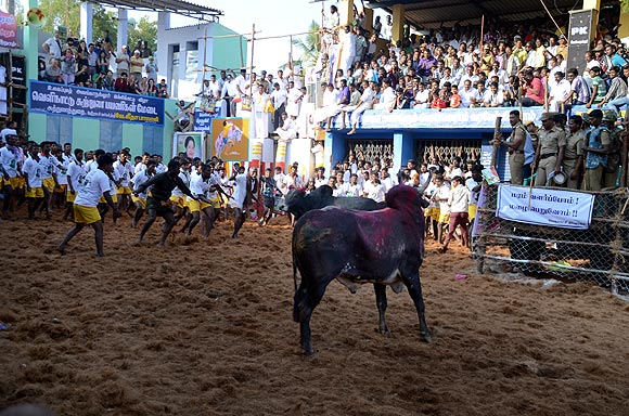 Inside the Jallikattu arena