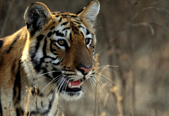 Tiger deaths at Corbett: Dark twist to a bright tale