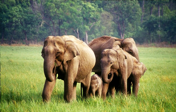 Five elephants were poached one after another in the reserve