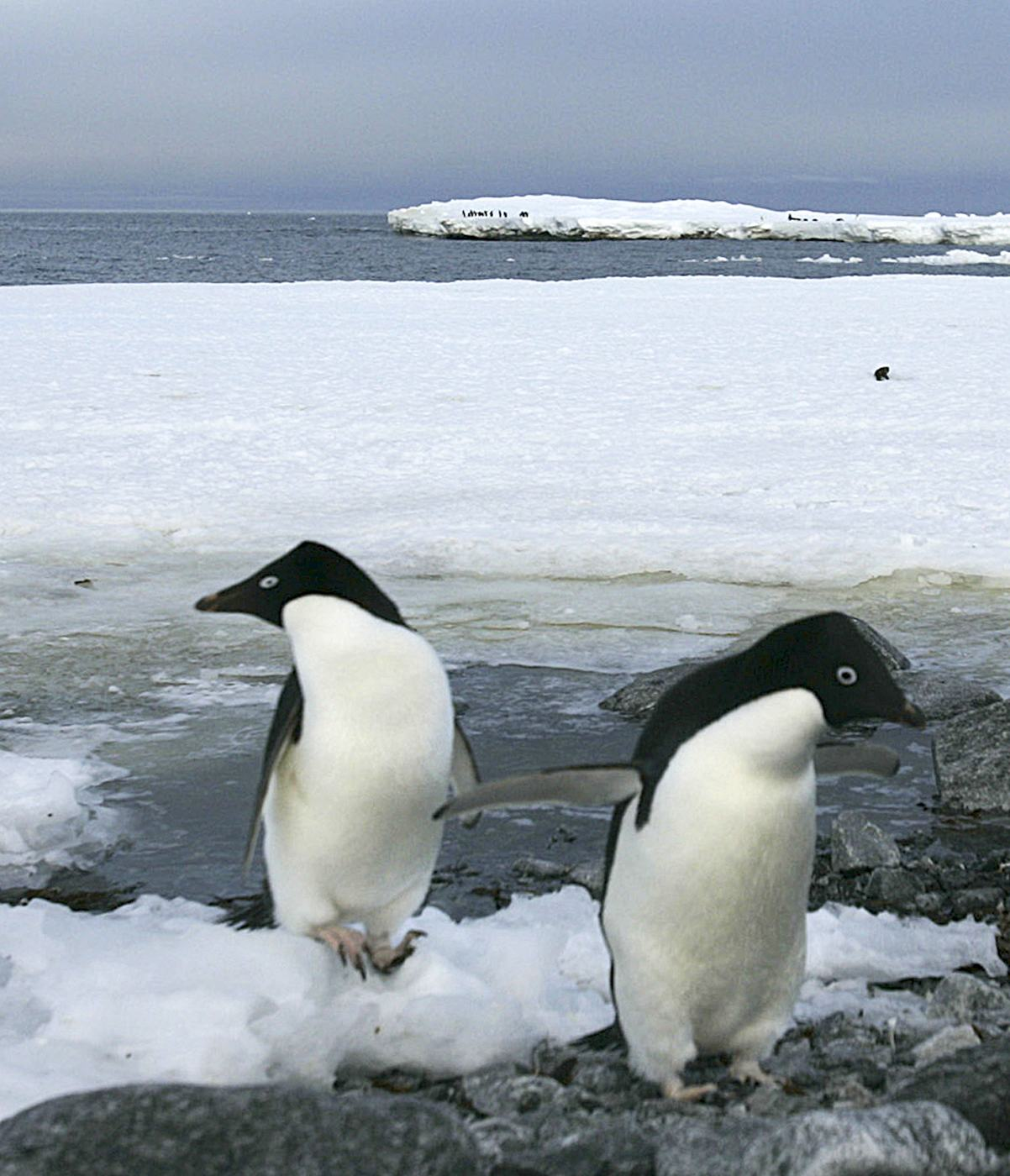Two Adelie penguins rest on the shores of Commonwealth Bay in Antarctica