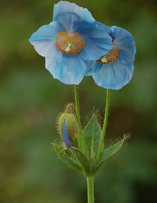 The Himalayan poppy, one of the rare plants that were washed away