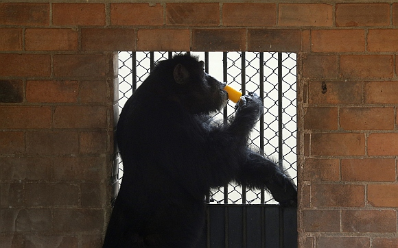 A chimpanzee eats an ice cream during a hot summer day at Rio de Janeiro's zoo